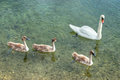 Swan family with puppies on lake Stock Photos