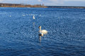 Swan family in the river Daugava