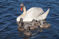 Swan family s mother and her babies Royalty Free Stock Image