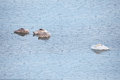 Swan family sleeping in frozen water late autumn Royalty Free Stock Photo