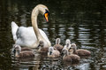 Swan family of swans in the water babies and mother Royalty Free Stock Image