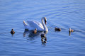 Swan Family in the water