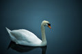 Swan far enough farm toronto island toronto ontario canada Royalty Free Stock Photos