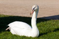 Swan fontainebleau seine et marne ile de france france Royalty Free Stock Photos