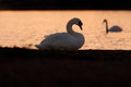 Swan gazing at another swan on lake at twilight a mute looks out a just after sunset and sees floating past Royalty Free Stock Photos