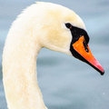 Swan head beautiful wild bird profile Royalty Free Stock Images