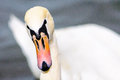 Swan head front view copy space eye and beak white cut Stock Image
