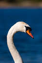 Swan head and neck portrait a s in against blue water a shoreline shot at whittlingham lake in norfolk Stock Photography