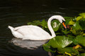 Swan horizontal photo of an elegant and water lily pads on a lake there are water drops on s head and neck Stock Image