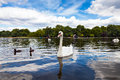 Swan in hyde park beautiful two ducks at his side another the background nice green trees and blue sky with white clouds Stock Photography