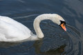 Swan on the Kennet and Avon Canal Royalty Free Stock Photo