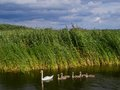 Swan with kids swim on lake in poland Royalty Free Stock Photography