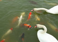 Swan with koi fish swimming in pond the Stock Photos
