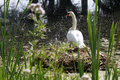 Swan lake or a on his nest in a Royalty Free Stock Photos