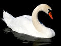 Swan in a lake lisbon portugal Stock Image