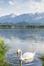 Swan on the lake named hofpensee in bavaria with views of alps a sunny day Royalty Free Stock Images