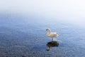 Swan in lake Ohrid