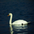 Swan on lake Royalty Free Stock Photo