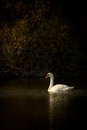 Swan on a lake white in autumn Stock Images