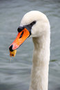 Swan with leaf in its beak the head shot of mute close up Royalty Free Stock Image