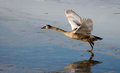 Swan learns to fly the on the ice of a lake nearby with a cane Stock Photography