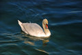 Swan on limmat river beautiful floating Royalty Free Stock Photos