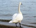 Swan looking out over lake single trumpeter into distance water Stock Photography