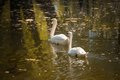 Swan love two swans on a background of water Royalty Free Stock Images
