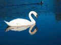 Swan and moorhen on reflection Royalty Free Stock Photos