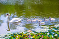 Swan mother and kids swim in pond with lilies Stock Images