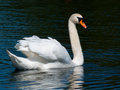 Swan a mute on a summer lake Stock Photo