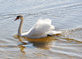 Swan mute swan swimming in lake cygnus early spring Royalty Free Stock Photography