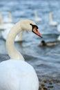 Swan In Nature