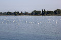 Swan overpopulation on the Lake of Constance Royalty Free Stock Photo