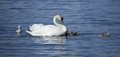 Swan with the own babys swimming in danube river Stock Photos