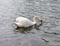 A swan paddling on a river in ontario Royalty Free Stock Photo