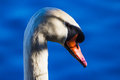 Swan Portrait Royalty Free Stock Photo