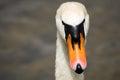 Swan portrait Royalty Free Stock Photo