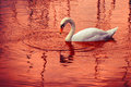 Swan In Red Background