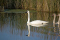 Swan with reflection swimming down a canal Stock Photography