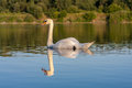 Swan reflection Royalty Free Stock Photo