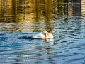 Swan reflections water colors nature birds winter Royalty Free Stock Photo