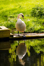 Swan on river bank with reflection a large wooden decking by the grassy seemingly admiring his own taken the yare norfolk Royalty Free Stock Images