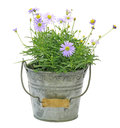 Swan River daisy in a tin can Royalty Free Stock Photo