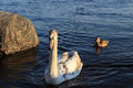 Swan in the river Daugava