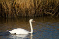 Swan on the river in Somerset Royalty Free Stock Image