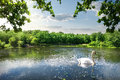 Swan on the river in summer day Royalty Free Stock Photo