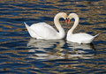 Swan romance in spring two beautiful swans a lake forming a heart Stock Photos