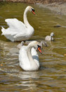 Swan s family on the pond of white swans with two adult birds and three ducklings Royalty Free Stock Images