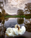 Swan scenic two beautiful swans in a country pond Royalty Free Stock Photos